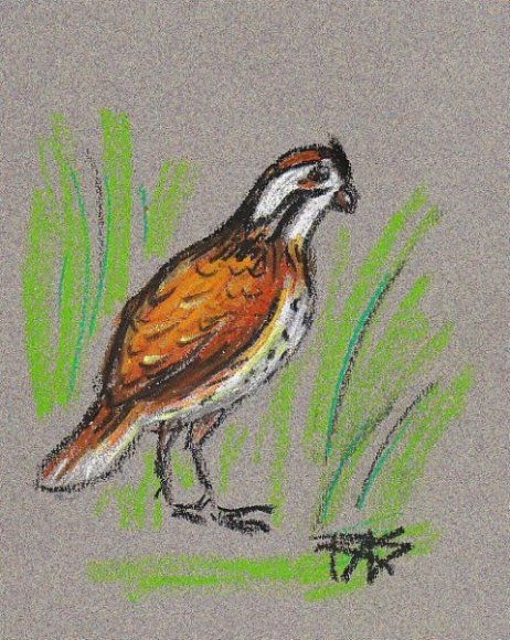 Bird Sketch from Walter Foster 152, quail in red brown with white speckled belly and green grass, drawn loose by Robert Sloan