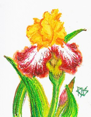 Sketch of a bronze bearded iris with golden center petals and bronze with white lower petals, green stems and leaves.