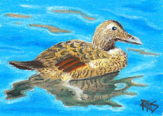 Eider Duck  in Erengi Oil Pastels  by Robert A. Sloan
