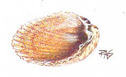 Shell study in Walnut Hollow oil pencils by Robert A. Sloan, gold and brown ridged clam shell half.