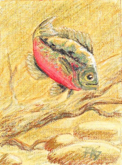 Sunfish study painted from Walter Foster 173 by Robert A. Sloan in oil pastels on canvas paper.