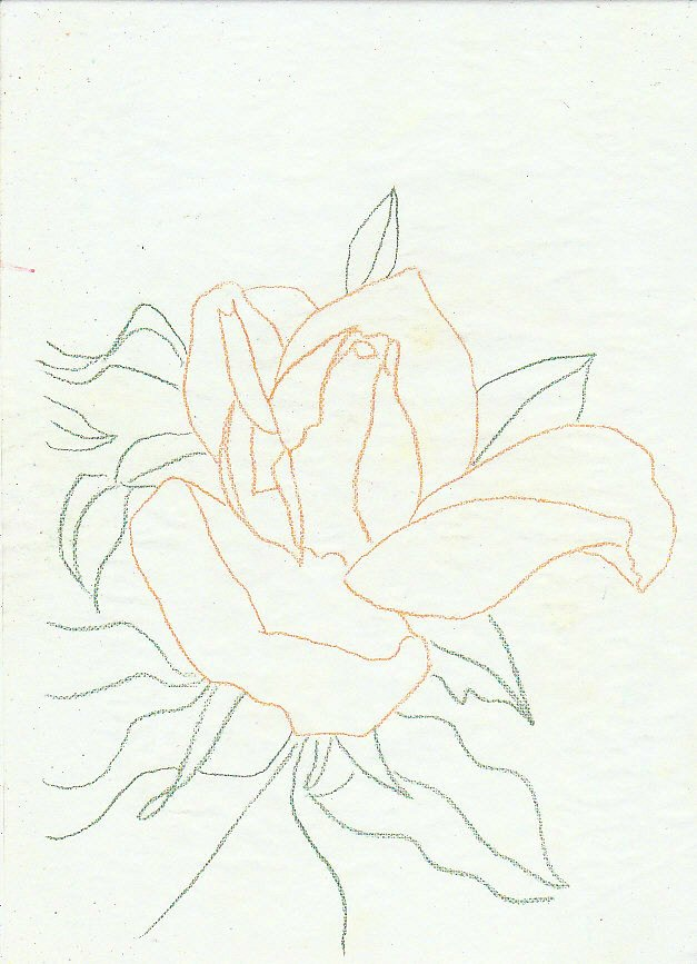 Yellow Rose Traced Outlines
